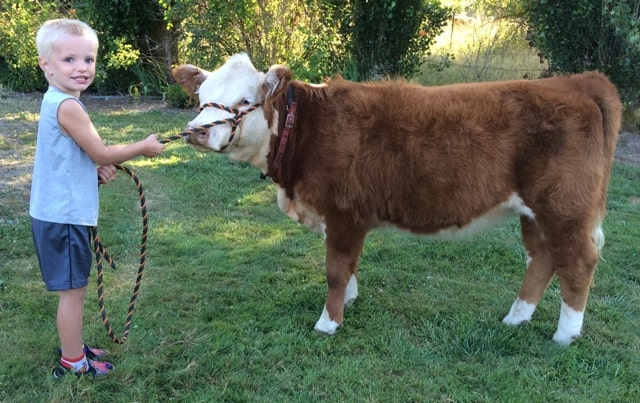 Miniature Hereford